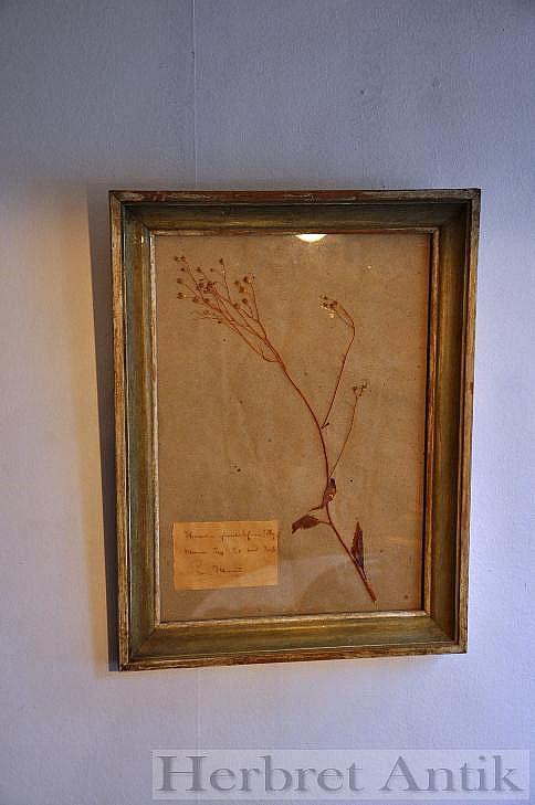 517 Inramad växt från herbarium