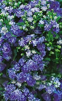 Lobelia blå