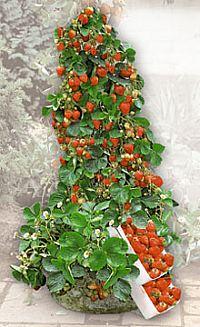 Klätter jordgubbe