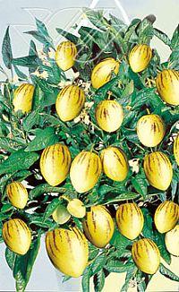 Pepino frukt