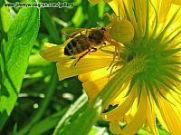 Blomsterspindel