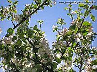 Äppel blom mot blå himmel
