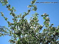 Apple blossom and blue sky