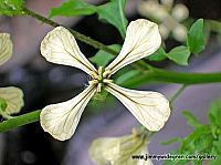 ruccola sallads blommor