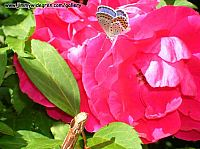 Fjärill på en ros