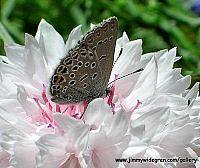 Fjärill på en blomma