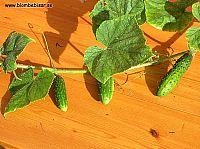 quecumber