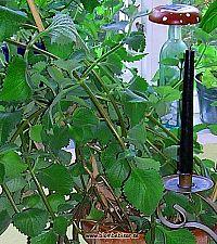 karibisk timjan