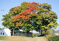 Träd-1