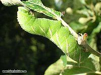 Stor larv