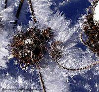 frostklädda blommor