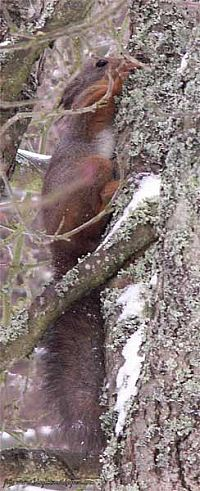 liten ekorre  som  gömmer  sej bakom  en trädstam