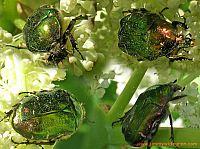 4 metallic bugs