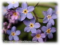 förgätmigej,med pollensporer  på sej