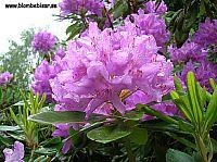 rododendron blomma med nya blad