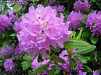 rododendron blomma med gröna blad