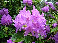 rododendron blomma