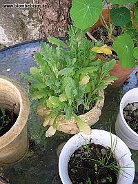 vallmo planta med knopp