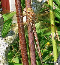 Dragon fly - Drakfluga