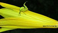 Gul blommspindel med röd rand på gul daglilja
